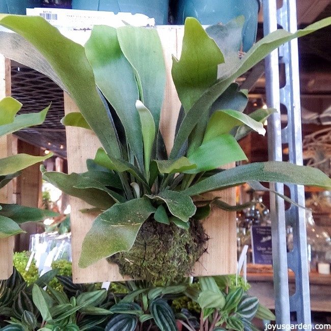 close up of a staghorn fern mounted on a piece of wood