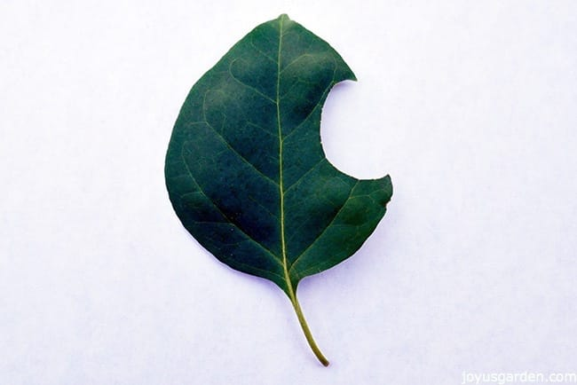a bougainvillea leaf with a half round chunk taken out of it Leaf cutter bee damage