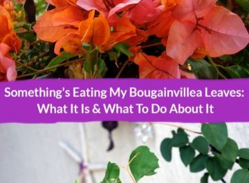 a collage of a closeup of orange and pink bougainvillea flowers Bougainvillea rosenka & a branch with chewed bougainvillea leaves the text reads something's eating my bougainvillea leaves what it is & what to do about it