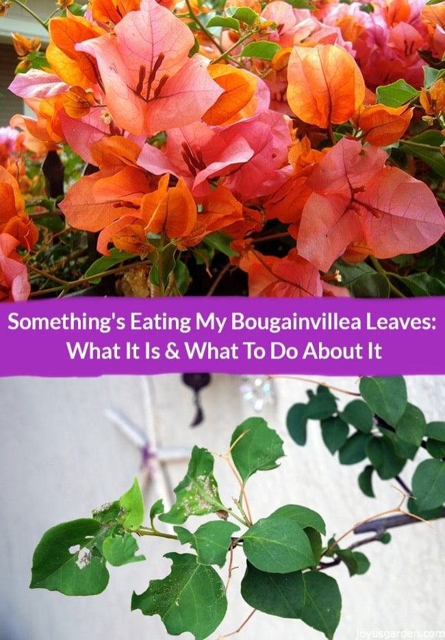 What Is Eating My Bougainvillea Leaves?