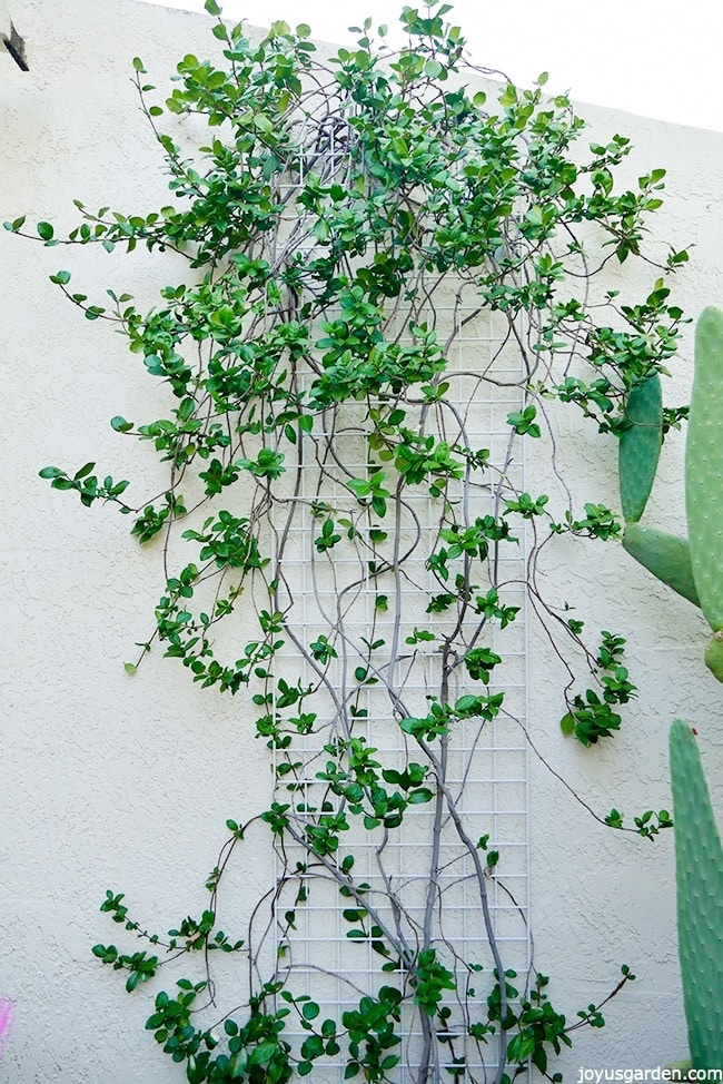 a Star Jasmine vine growing in a free form shape against a white wall