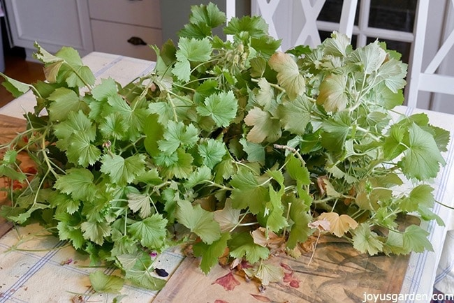 A big pile of geranium (pelargonium) cuttings sit on a table