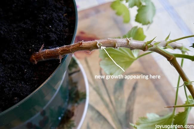 A close up of a geranium (pelargonium) stem where you can see the new growth appearing out of the nodes