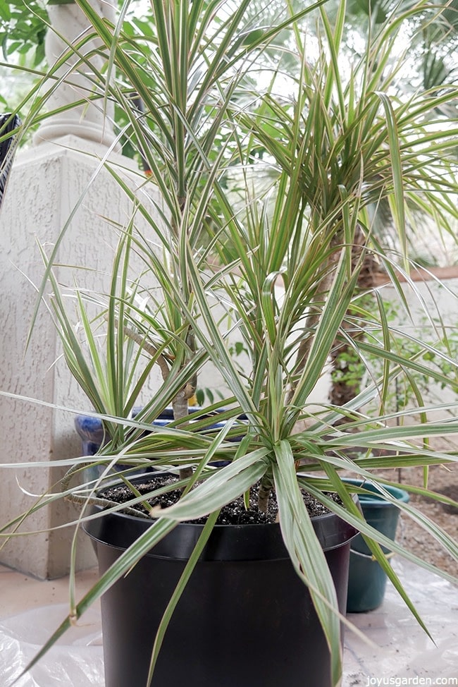 A variegated Dracaena marginata is in a black grow pot. It sits outdoors on a piece of plastic with a blue pot behind it