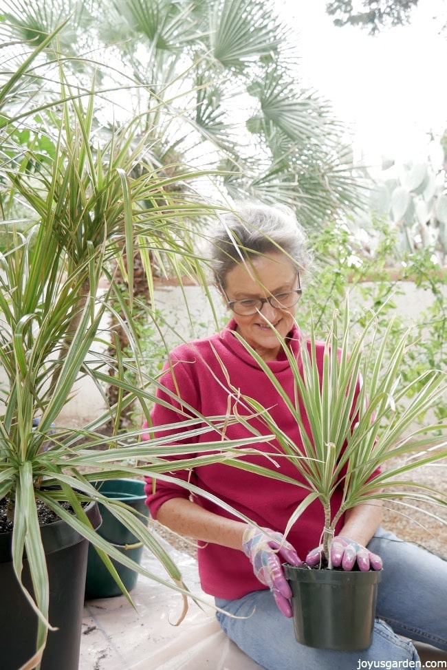 Nell Foster is holding a small Dracaena marginata in a green grow pot on her lap there's a larger plant next to her in a black grow pot she is working outdoors with plants behind her