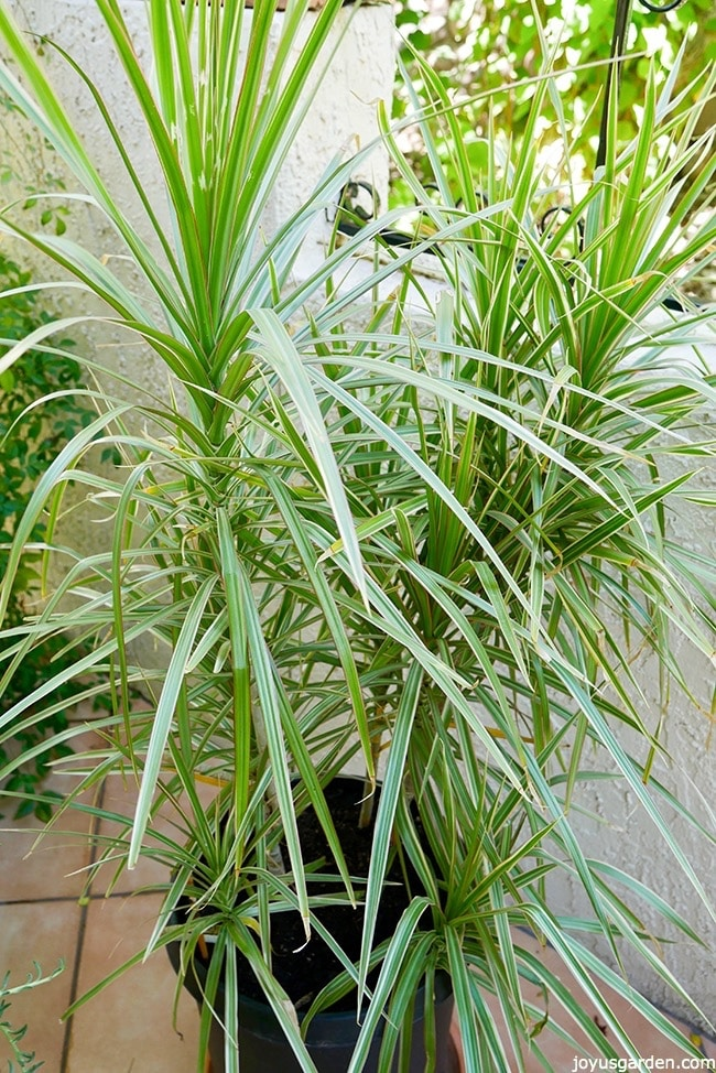 a variegated Dracaena marginata in a tall black pot sits on a patio