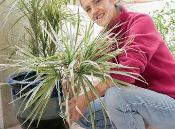 Nell's holding a dracanea cutting below a text reads Transplanting My Dracaena Marginata With Its Cuttings