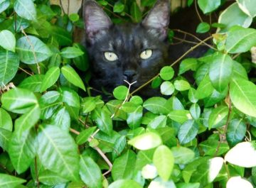 A gray cat hides inside garden bushes below him a text reads: Protecting Your Garden From Curious Pets and Other Critters