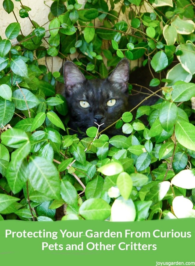 A gray tabby cat hides amongst ground cover in the garden below him a text reads: Protecting Your Garden From Curious Pets and Other Critters