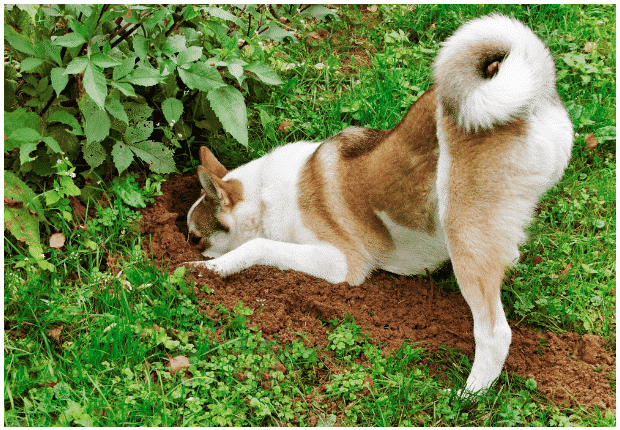 A large dog hunched down digging a big hole in the garden