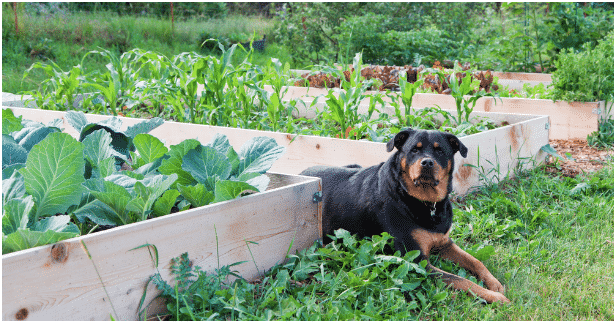 A big black dog laying next to raised vegetable beds in the garden