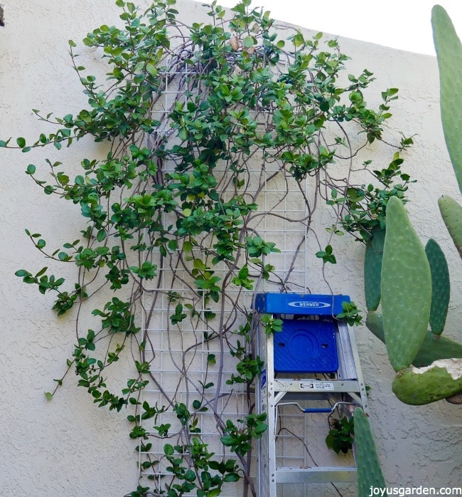 Star Jasmine vine growing against a white wall  a metal ladder leans against the wall next to a large cactus