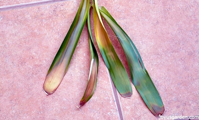 guzmania bromeliad leaves are lying on a tiled walkway. they have big brown spots on them_new