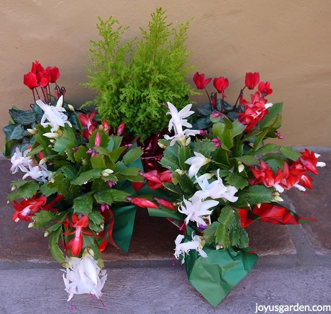 2 Christmas Cactus (Holiday Cactus), both with red & white flowers, sit in front of red & white cyclamens & a small chartreuse cypress