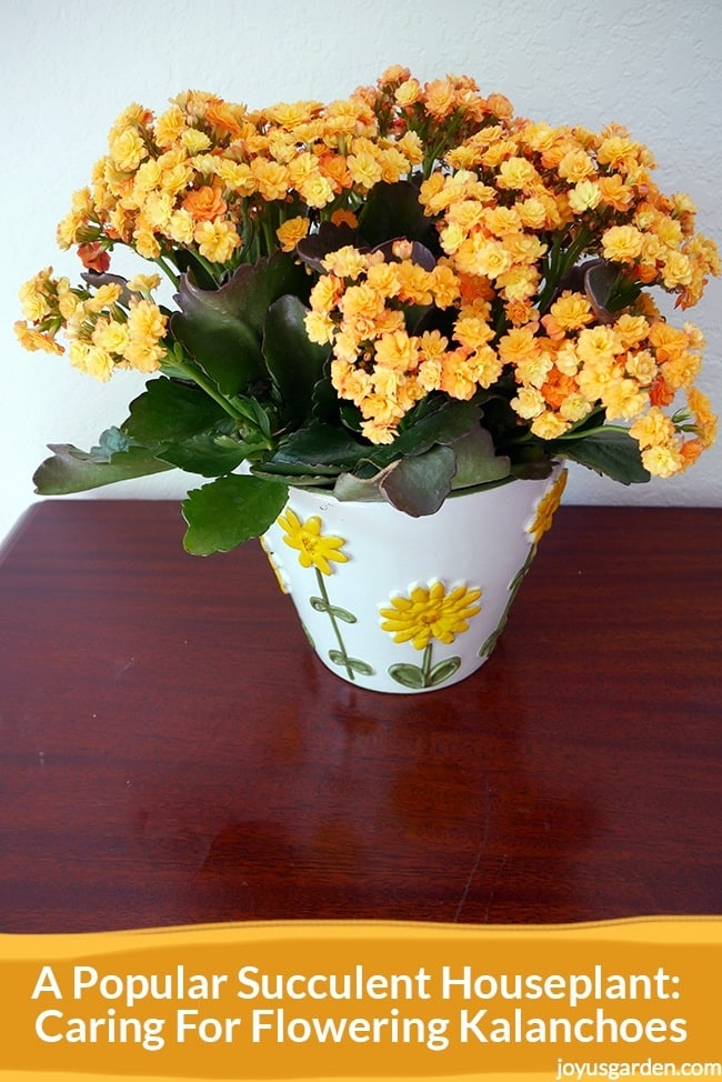 a kalanchoe with fully open double yellow flowers in a white pot with yellow flowers sits on a table the text reads A Popular Succulent Houseplant- Caring For Flowering Kalanchoes