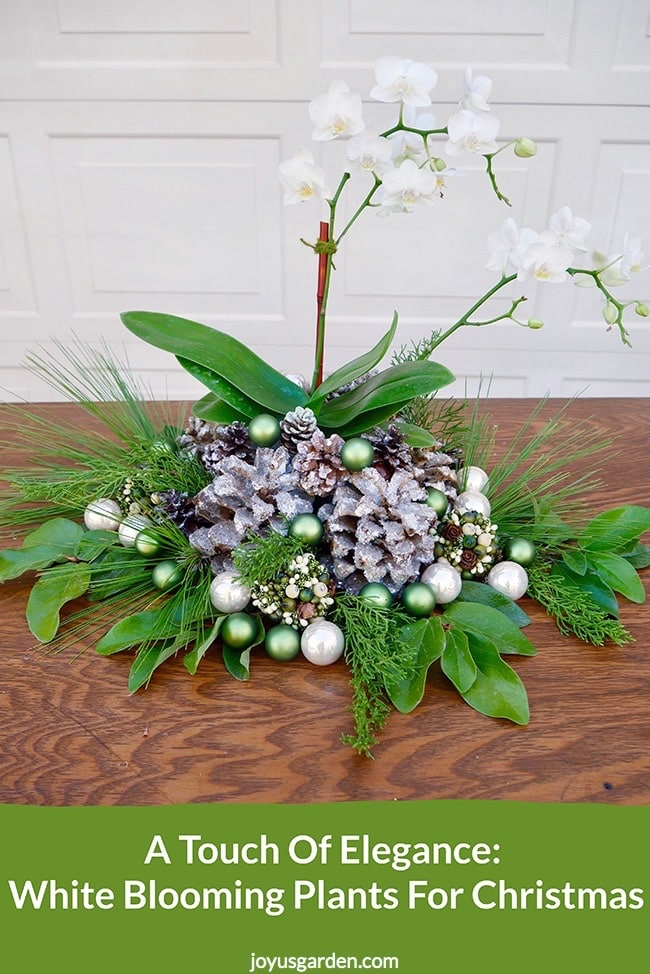 A small white orchid is decorated with cones, balls & evergreen branches for the holidays the text reads A Touch Of Elegance- White Blooming Plants For Christmas_new