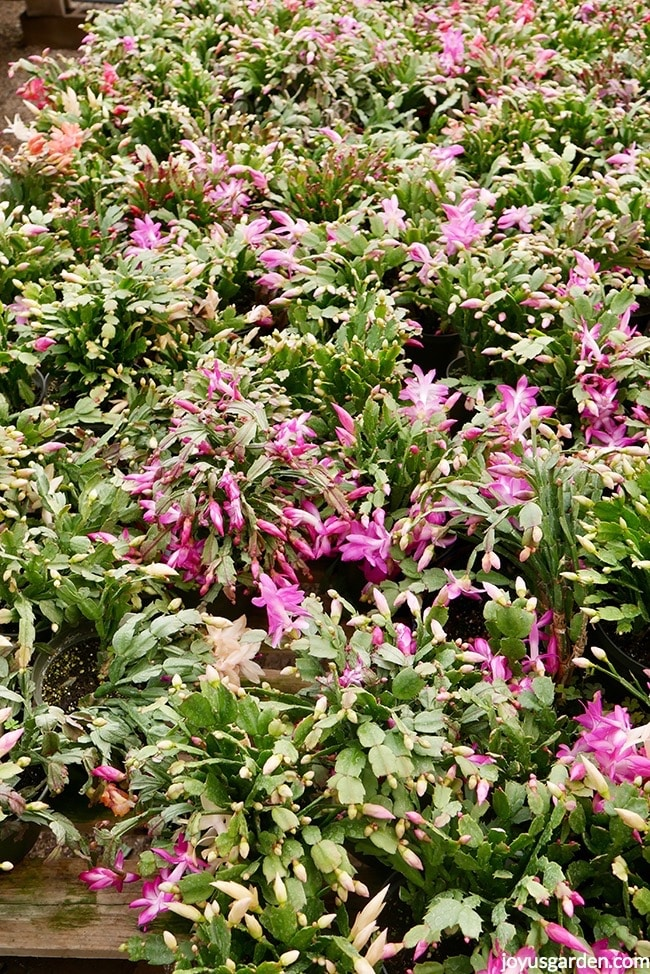 Christmas Cactus Problems.How To Grow Christmas Cactus A Long Lasting Succulent