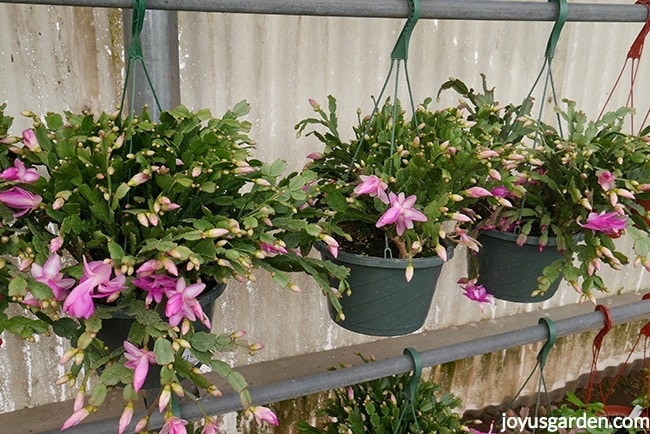 Lavender Christmas (Thanksgiving or Holiday) Cactus in 10 hanging pots in a greenhouse