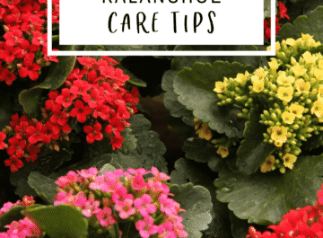 photo of a kalanchoe with red, pink, and yellow flowers and the text reads kalanchoe care tips