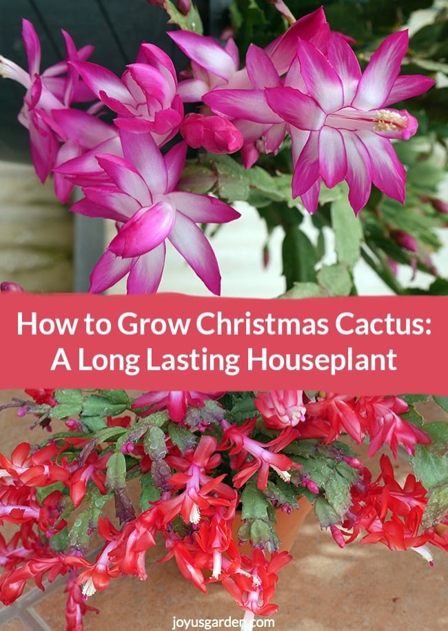 Violet Christmas Cactus & red Christmas Cactus with text that reads How to Grow Christmas Cactus