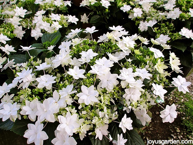 white shooting star hydrangeas in full bloom in the greenhouse