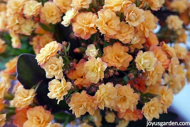 Looking at a close up of the flowers of a yellow kalandiva kalanchoe. the flowers are tinged with apricot & orange