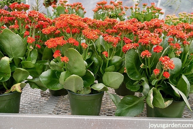 Kalanchoes with orange red flowers in 4 inch grow pots sit on a nursery bench. The foliage is very glossy green