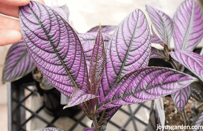 close up of Persian Shield Plant with bright purple leaves