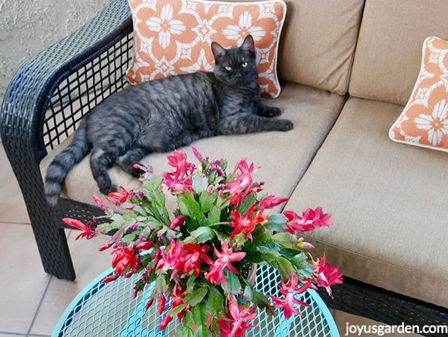 Riley, a grey cat, lays on a patio loveseat next to a scarlet Christmas Cactus on a blue table