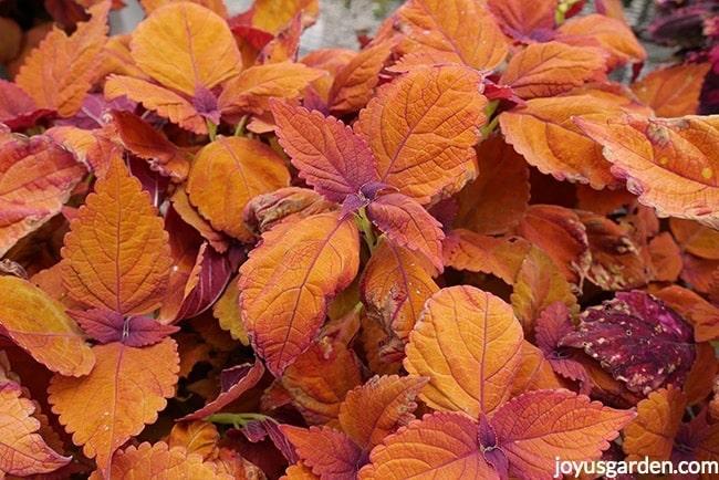 orange coleus' close up