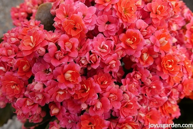 close up of the flowers of a rose pink kalandiva kalanchoe
