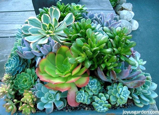 close up of a mixed succulent planting