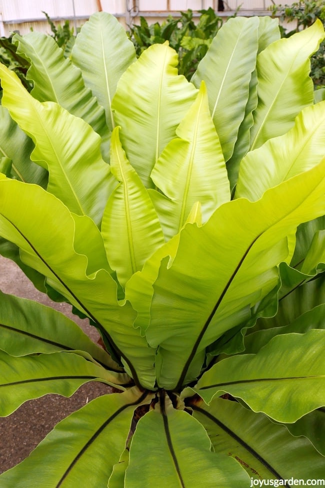 a tall and chartreuse bird's nest fern