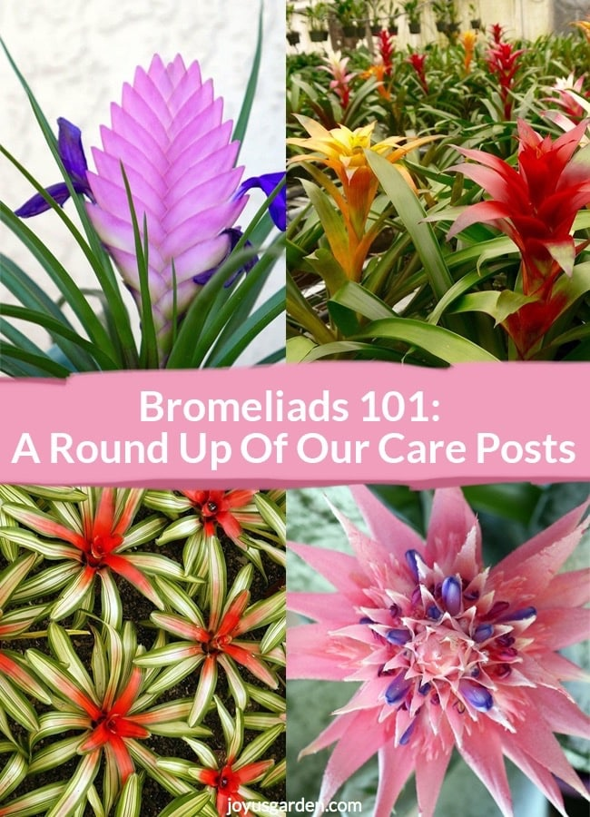 a collage with 4 pictures of pink quill plant, guzmanias, neoregelias &an aechmea the text reads Bromeliads 101- A Round Up Of Our Care Posts_new