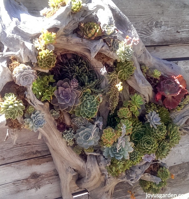 a very large succulent & driftwood arrangement hangs on a wooden wall
