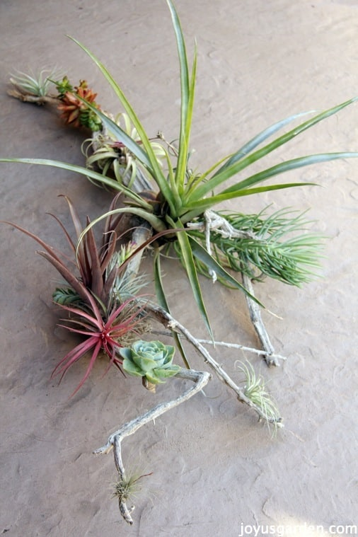 closeup of a beautiful succulent and tillandsia arrangement on driftwood