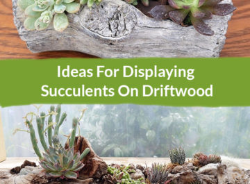 Two different driftwood and succulents arrangement: Ideas For Displaying Succulents On Driftwood
