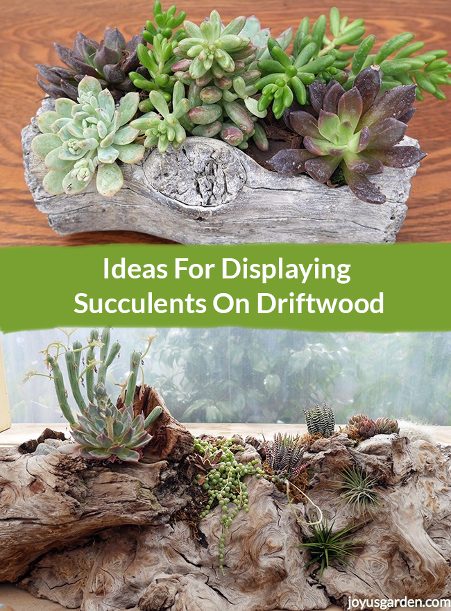 a collage with 2 driftwood & succulent arrangements the text reads Ideas For Displaying Succulents On Driftwood