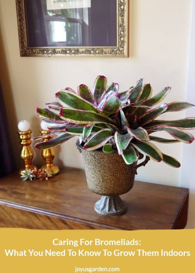 a large neoregelia bromeliad sits in a tin urn on a table the text reads caring for bromeliads