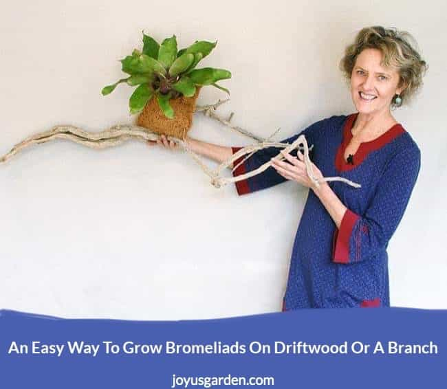 nell foster holds a long piece of driftwood with a neoregelia bromeliad planted on it the text reads an  easy way to grow bromeliads on driftwood or a branch