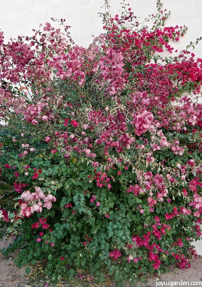 a large bougainvillea barbara karst with dead flowers which has been hit by a freeze