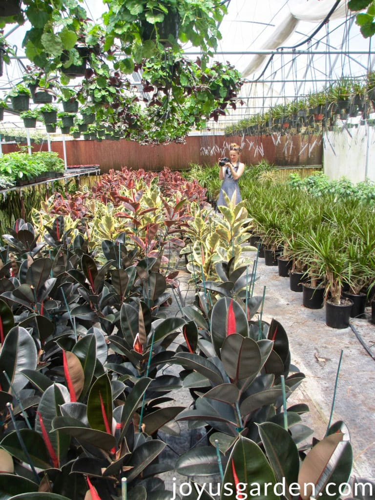 A woman is in a greenhouse full of interior plants taking pictures of Rubber Tree plants