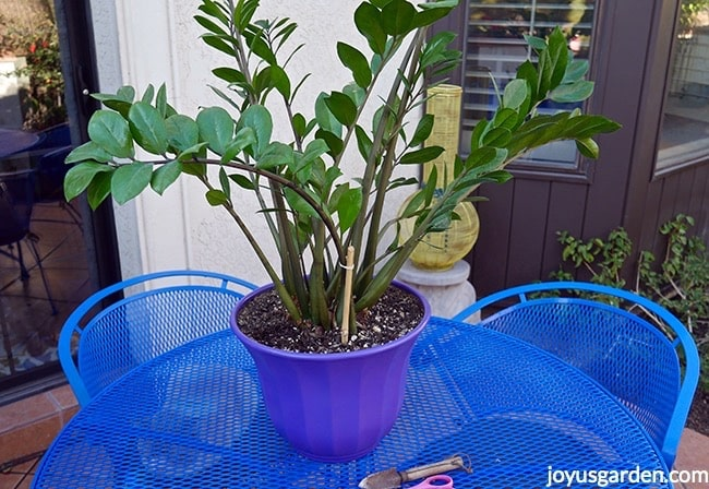 A large ZZ plant in a purple pot sites on a blue patio table