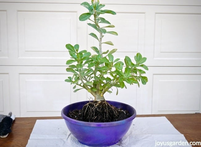 An Adenium obesum being sitting in a low, wide bowl