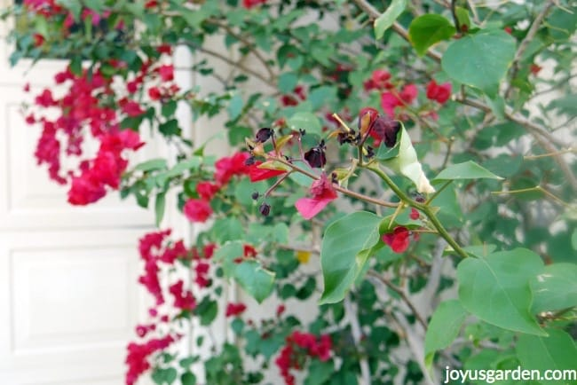 Branch of a bougainvillea with deep red pink flowers & a couple of curled leaves. This is light freeze damage on bougainvilleas