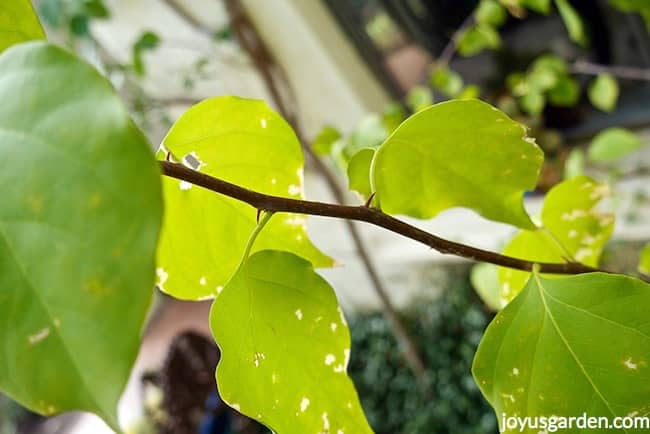 Close up of a boungainvillea branch which has been hit by a light freeze. New growth is appearing at the nodes