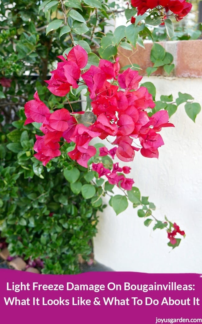 deep pink red bougainvillea against a white column the variety is Barbara Karst. the text reads Light Freeze Damage On Bougainvilleas what it looks like & what to do about it
