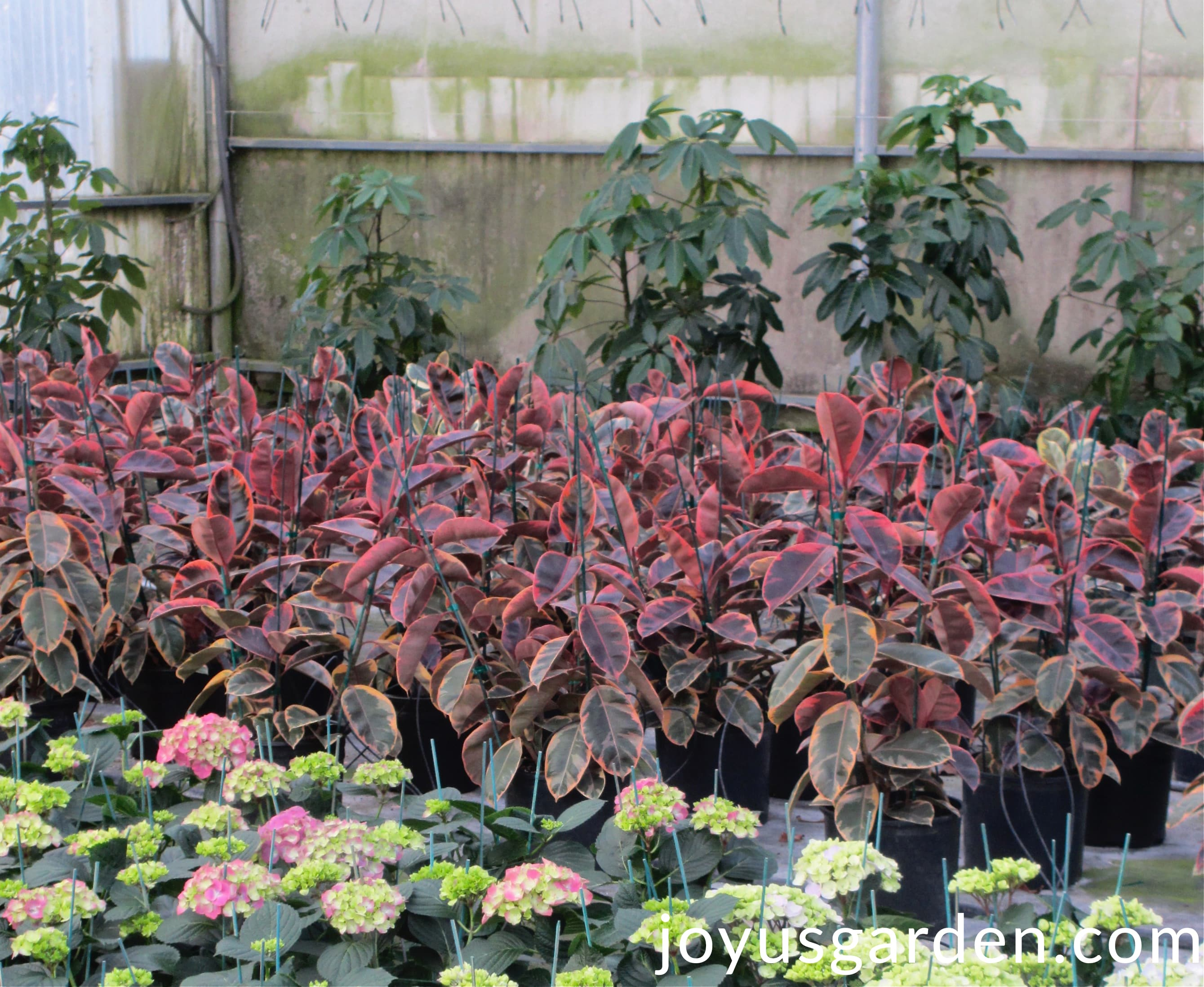 Scheffleras Ruby Rubber Plants Pink Hydrangeas Grow In A Greenhouse