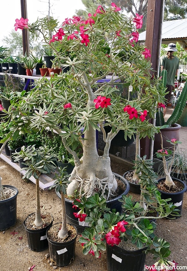 Gorgeous 6' tall Adenium obesum with deep rose flowers surrounded by smaller Adeniums