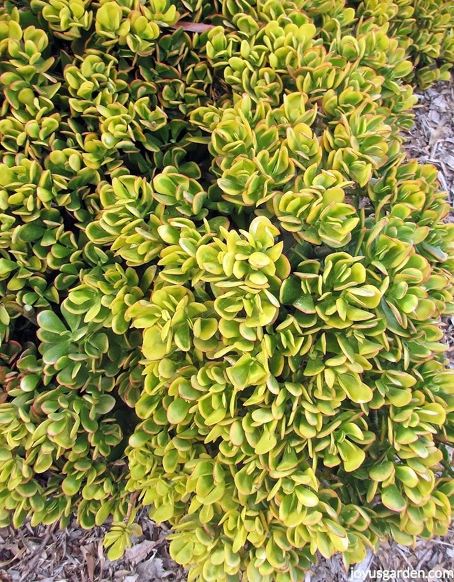 close up of Golden Jade a succulent with chartreuse variegation